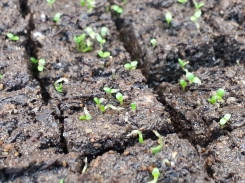 Digitalis sprouts