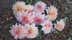 Cafe Au' Lait Dahlias