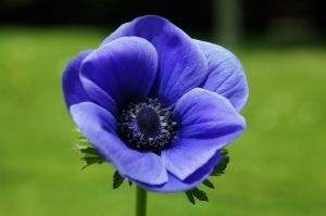 anemone-290340_1280